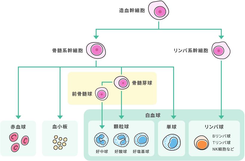 性 急性 白血病 原因 骨髄